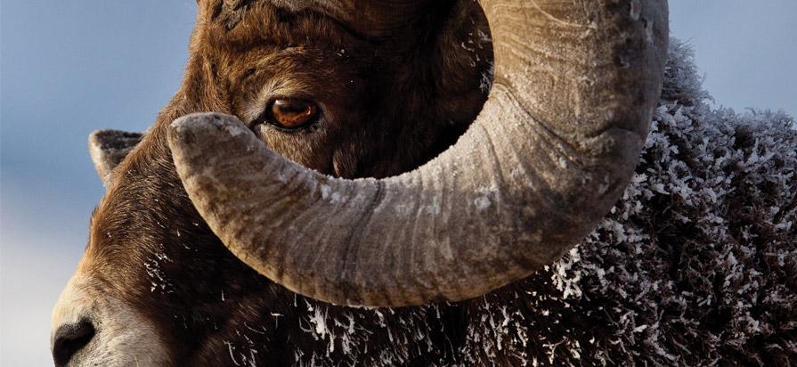 Bighorn - Herd development